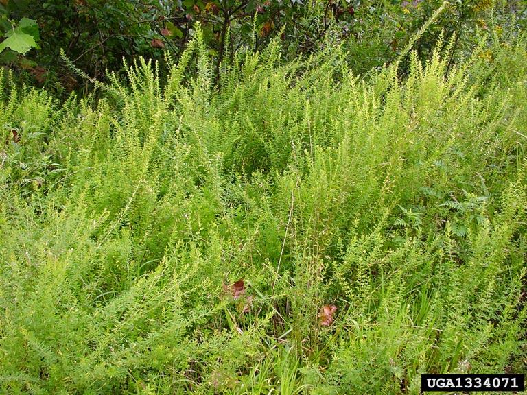 Sericea Lespedeza Connecticut Invasive Plant Working Group