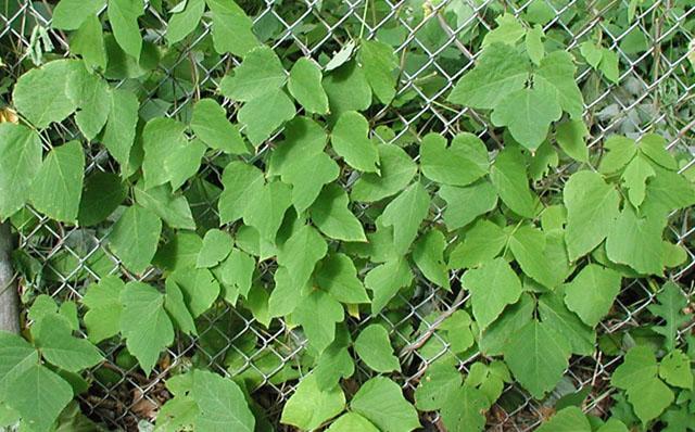 Kudzu | Connecticut Invasive Plant Working Group  Kudzu | Connect...