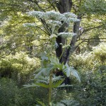 Hogweed_Plant_lookalike
