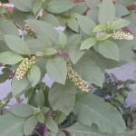 Pokeweed_leaf