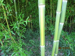 Phyllostachys aureasculata (Yellow Groove Bamboo). Photo: Donna Ellis, UConn